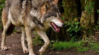 Wolf in Brabant